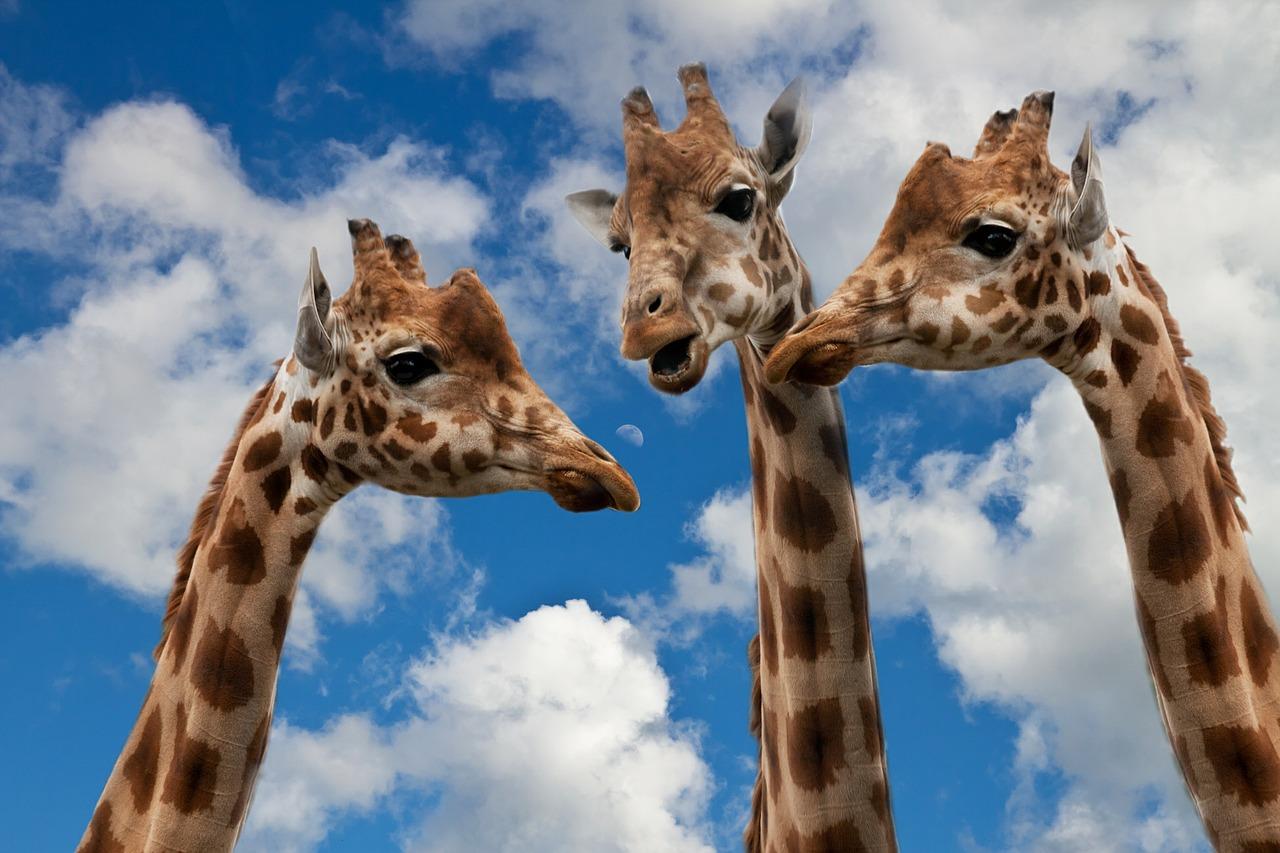 manuel-linares-jirafa